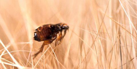 Insect, Close-up, Pest, Macro photography, Drosophila melanogaster, Invertebrate, Brown, Grass family, Organism, Eye,