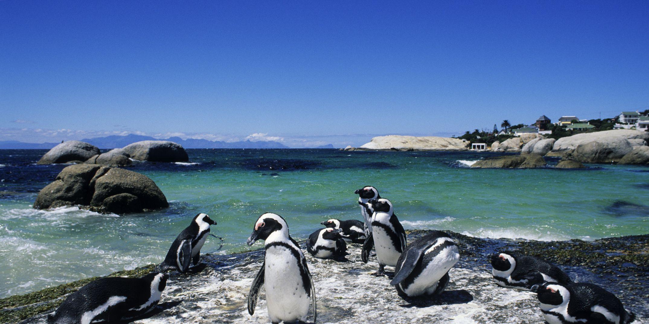 Colony of Penguins on Boulder Beach, Simonstown.