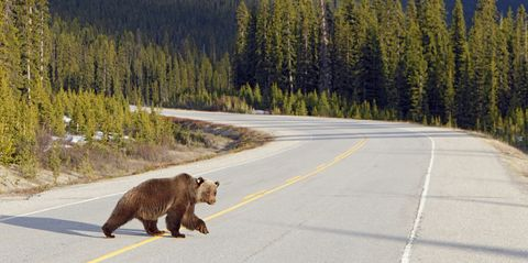 Adult grizzly bear on the Icefields Parkway, Banff National Park, Alberta, Canada