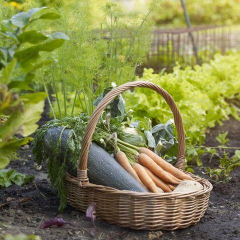 Vegetable basket in allotment