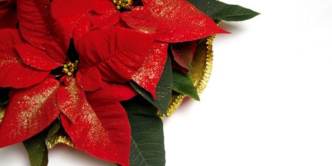 Red Christmas Flower.How To Grow Poinsettia Flowers Poinsettia Plant Care For