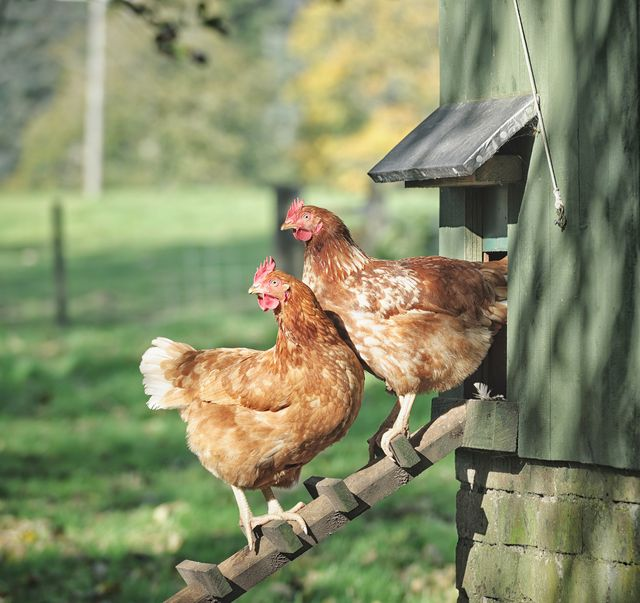 two hens standing on a wooden ladder outside their henhouse