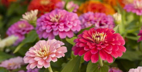 Ortment Of Pink Shaded Zinnias In A Flower Patch