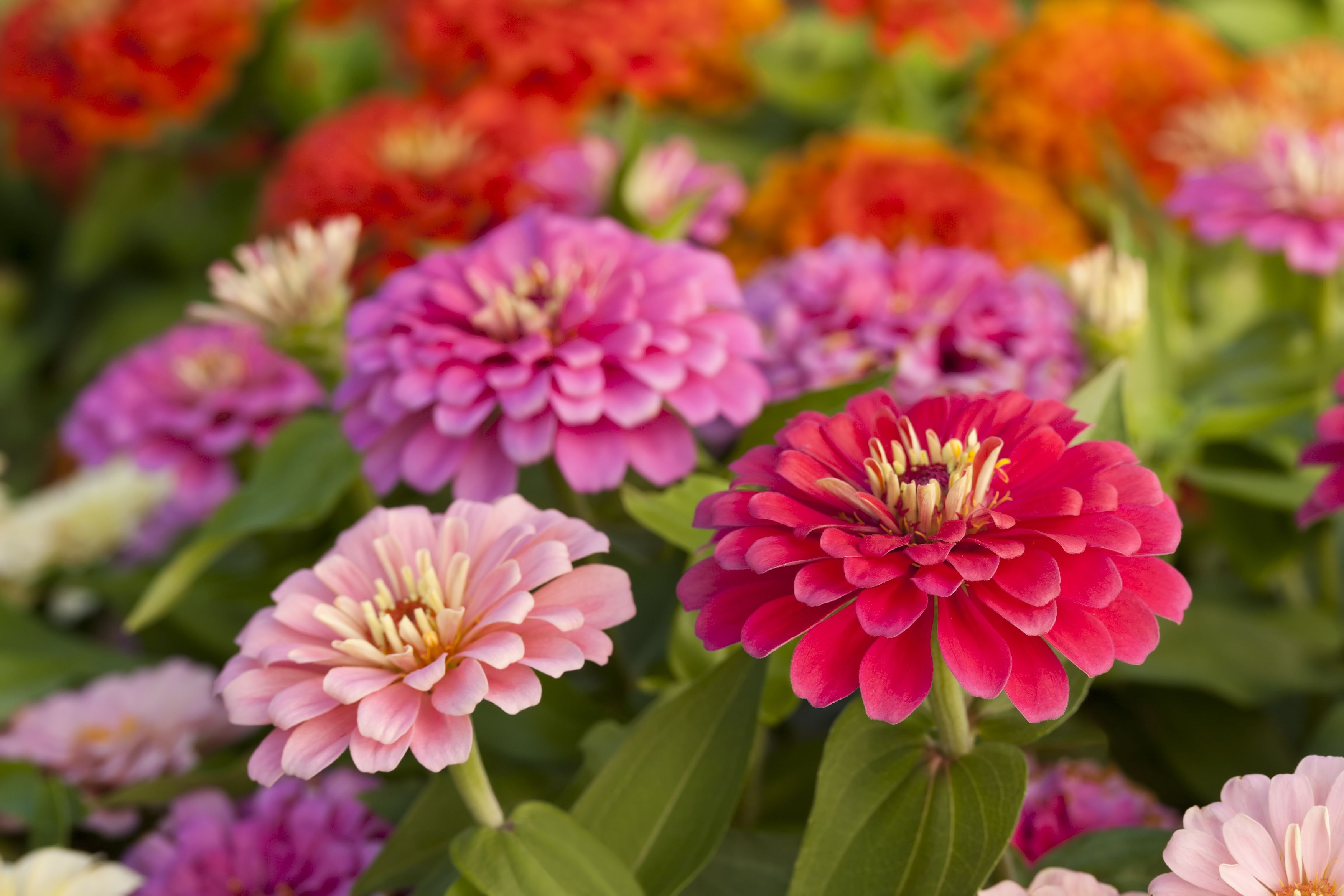 Assortment Of Pink Shaded Zinnias In A Flower Patch