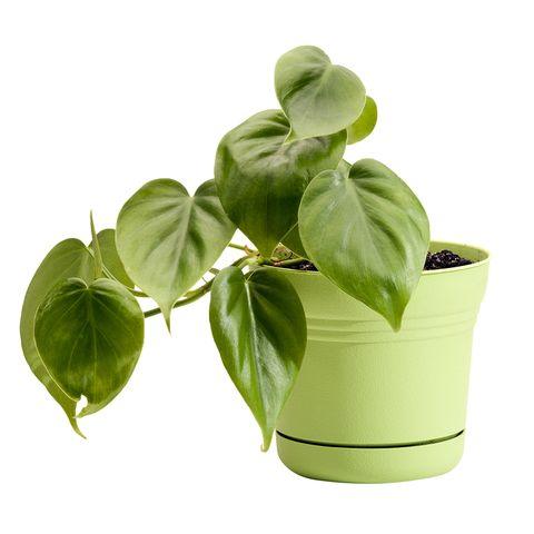 Flowerpot, Leaf, Basil, Plant, Flower, Houseplant, Herb, Vegetable, Ocimum, Food,