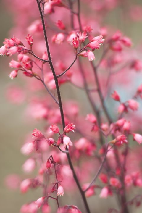 Flower, Plant, Pink, Blossom, Spring, Branch, Red bud, Twig, Flowering plant, Cherry blossom,