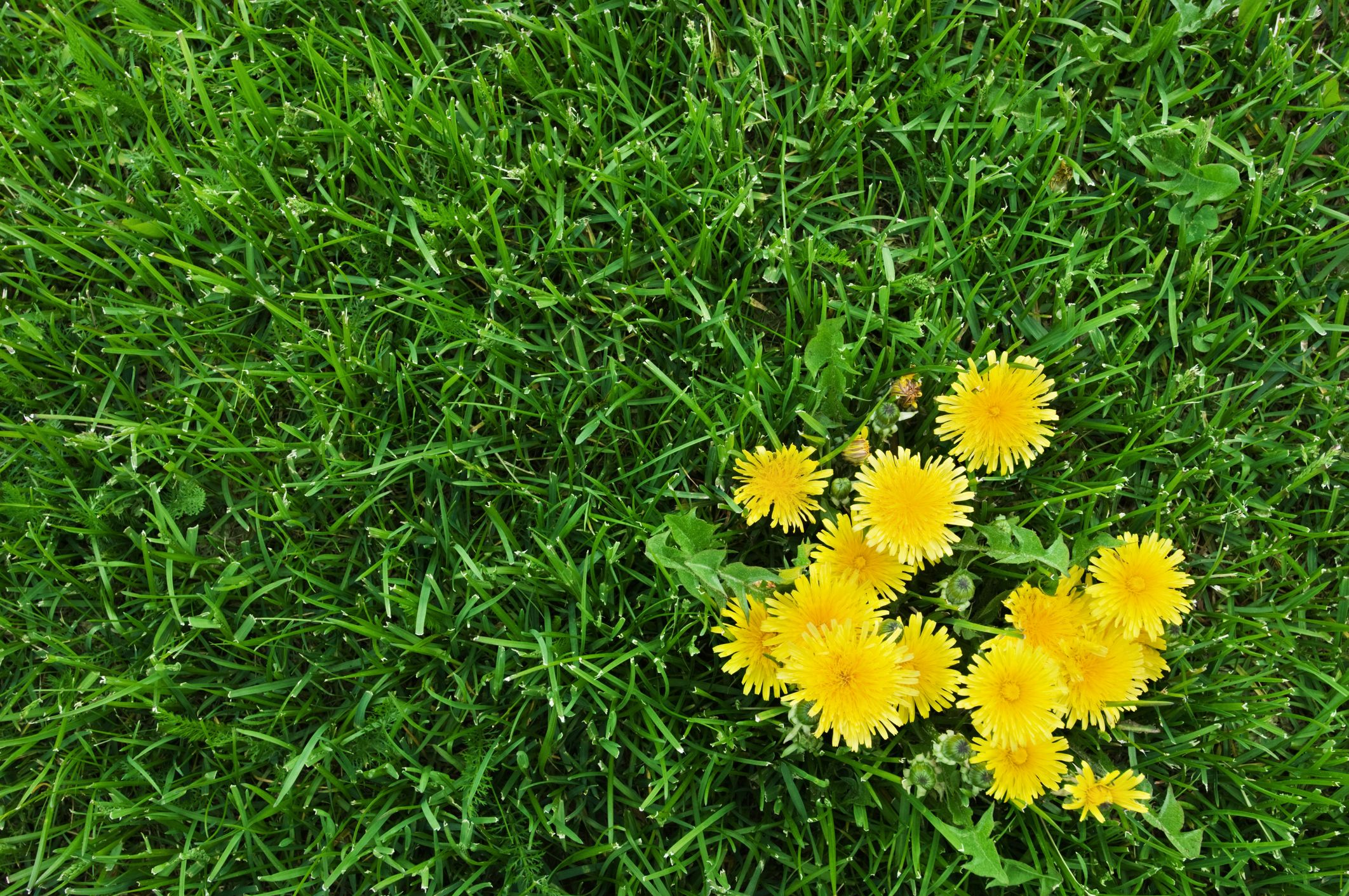 How to Finally Get Rid of Dandelions
