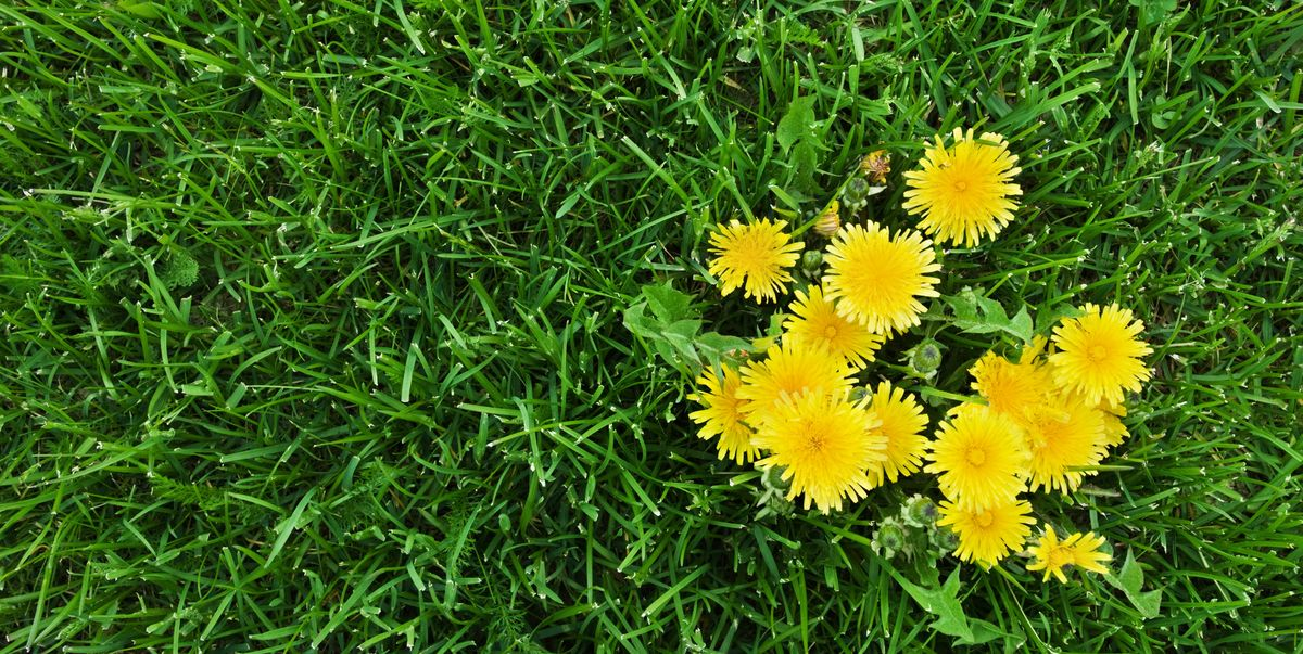 How To Get Rid Of Dandelions Chemical Free Ways To Kill Dandelions