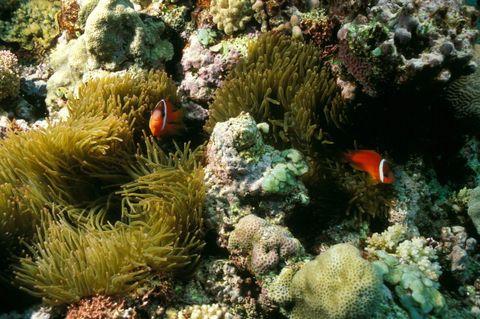 clownfish great barrier reef
