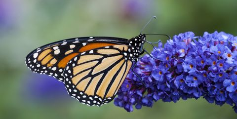 Monarch Butterfly necturing on Butterfly Bush