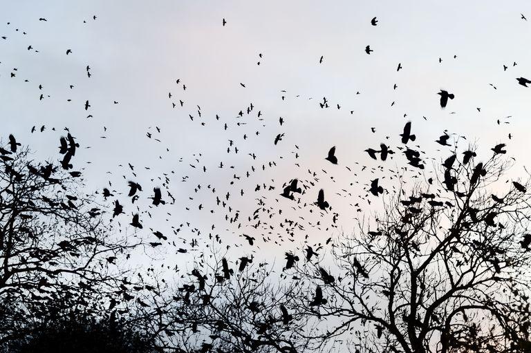 """Quei geni dei corvi hanno una coscienza e """"sanno di sapere"""", come gli umani"""