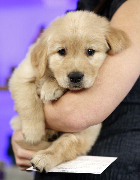 Dog, Mammal, Vertebrate, Dog breed, Canidae, Puppy, Golden retriever, Carnivore, Retriever, Companion dog,