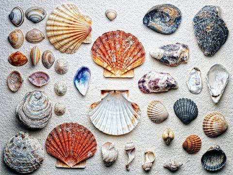 Shell, Cockle, Bivalve, Baltic clam, Clam, Molluscs, Scallop, Organism, Shellfish, Conchiglie,