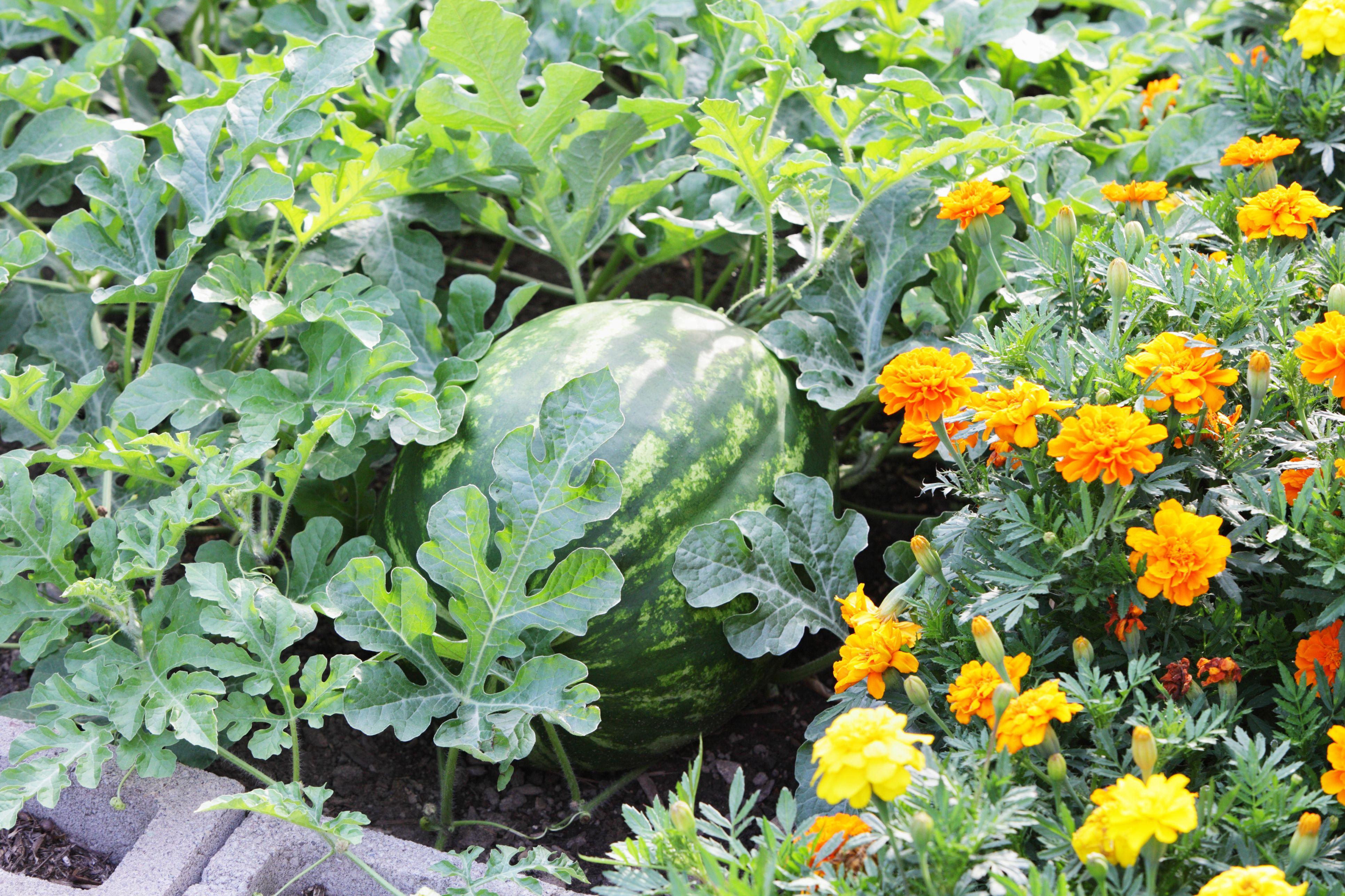 Big Ripe Watermelon Citrullus Lanatus In A Summer Garden