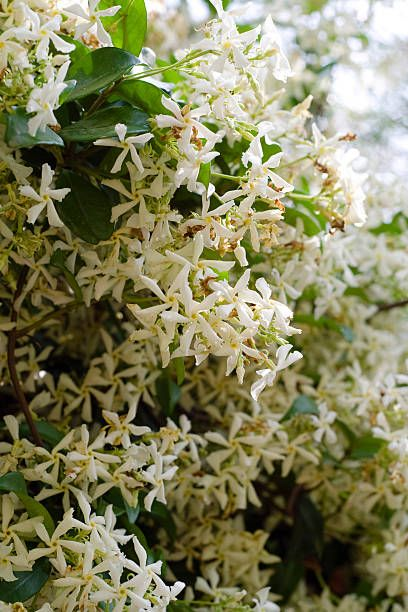 trachelospermum jasminoides   star jasmine plant