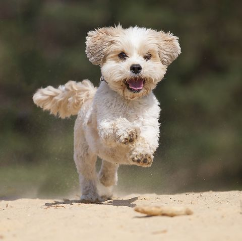 a  shih tzumaltese mix is very happy by running in the yellow sand3 feet above the groundsmiling dog
