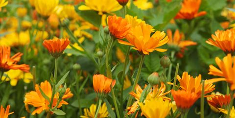 How to grow calendula flowers planting and harvesting pot marigolds orange and yellow marigold flowers in a large organic flowerbed mightylinksfo