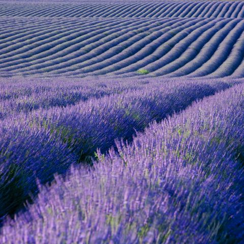 Lavender, English lavender, Lavender, Purple, Blue, Field, Flower, Violet, Plant, Flowering plant,