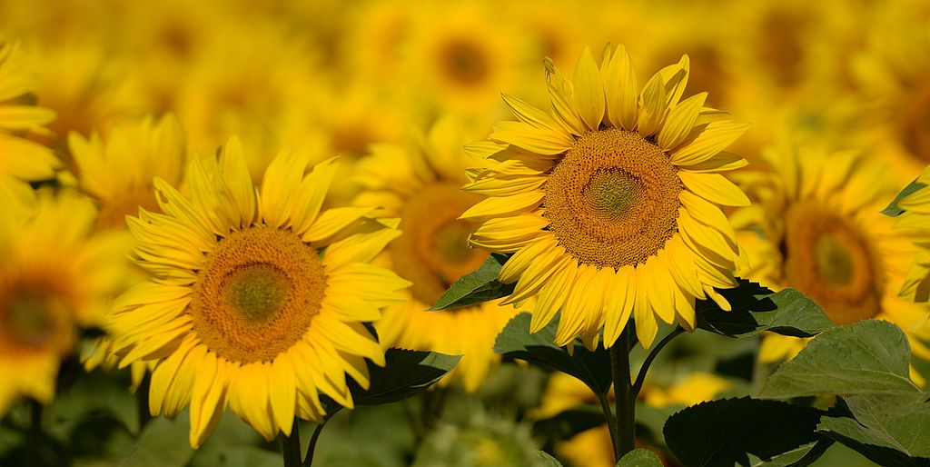 9 Summer Flowers and Their Secret Meanings
