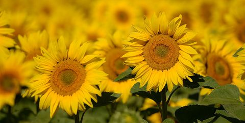 Flower meanings 9 summer flowers what they symbolize sunflower field germany mightylinksfo