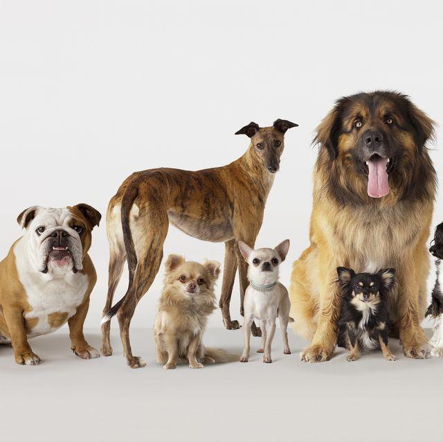 Mammal, Dog, Vertebrate, Dog breed, Canidae, Carnivore, Sporting Group, Spaniel, Rare breed (dog), Ancient dog breeds,
