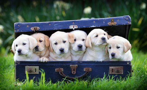 Dog, Mammal, Vertebrate, Dog breed, Canidae, Retriever, Golden retriever, Carnivore, Puppy, Labrador retriever,