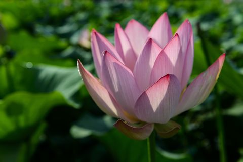 Lotus flower meaning what is the symbolism behind the lotus pink lotus flower mightylinksfo