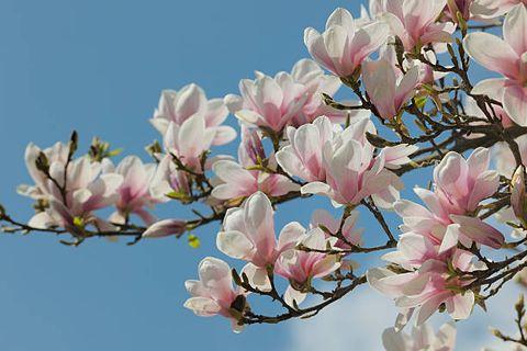a magnolia blossom against a blue sky