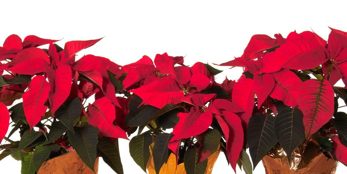 How To Grow Poinsettia Flowers Poinsettia Plant Care For Christmas