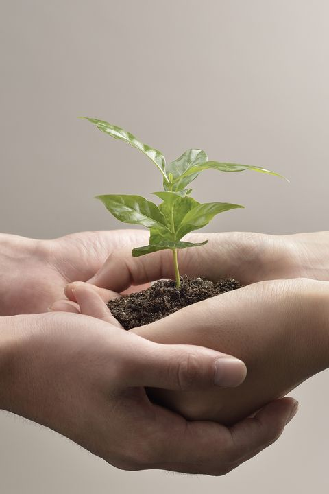sustainability,tree seedlings of coffee