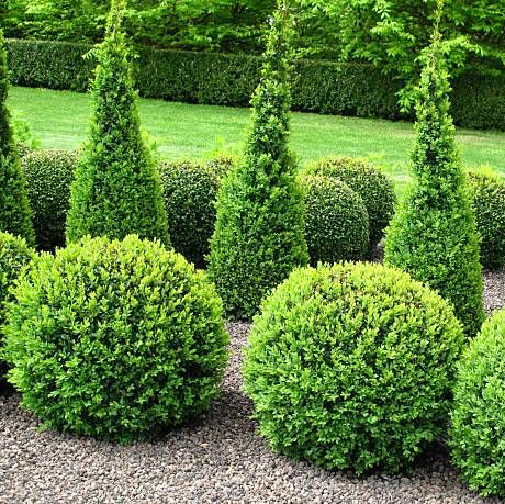 beautiful garden with buxus