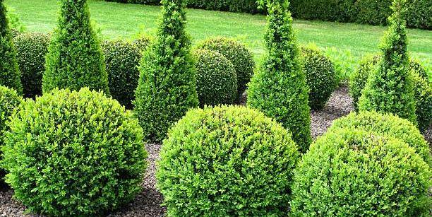 20 Essential Evergreen Shrubs Best Types Of Evergreen Bushes