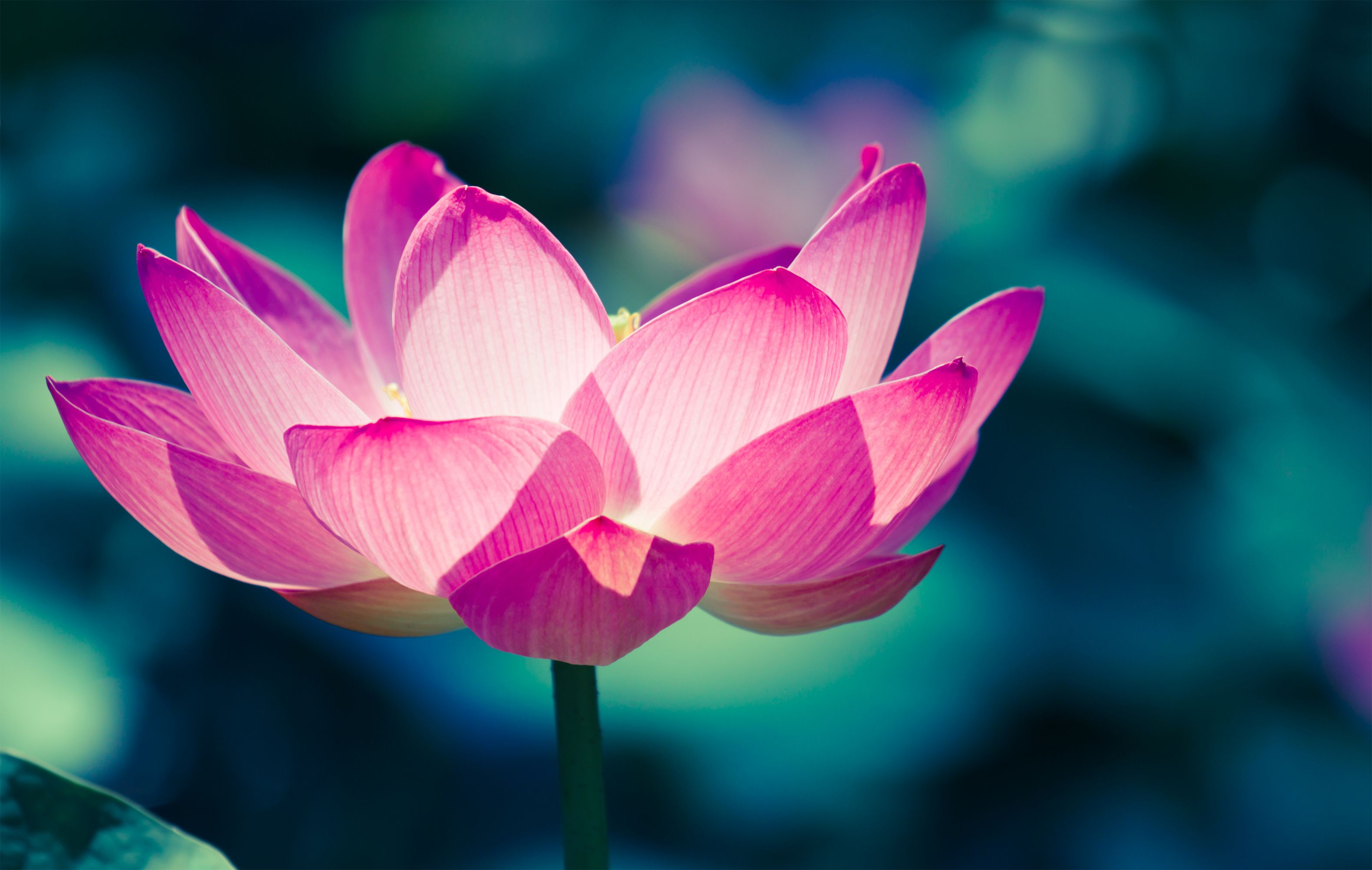 Lotus Flower Meaning What Is The Symbolism Behind The Lotus