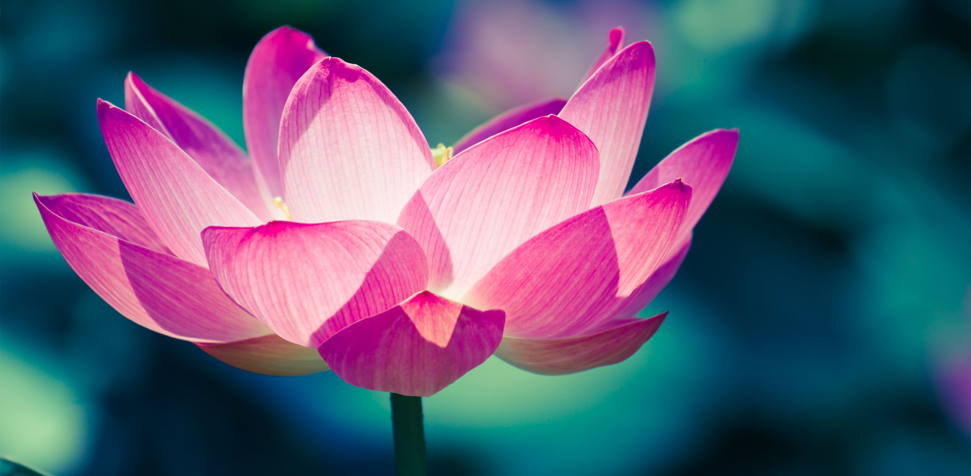 The Secret Meaning of the Lotus Flower