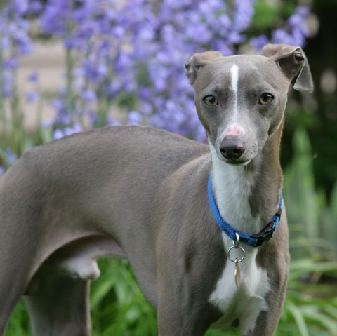 young male italian greyhound outdoors