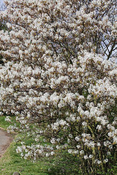 amelanchier lamarckii est un joli mais discret arbre de jardin à fleurs blanches avec des feuilles brunes.