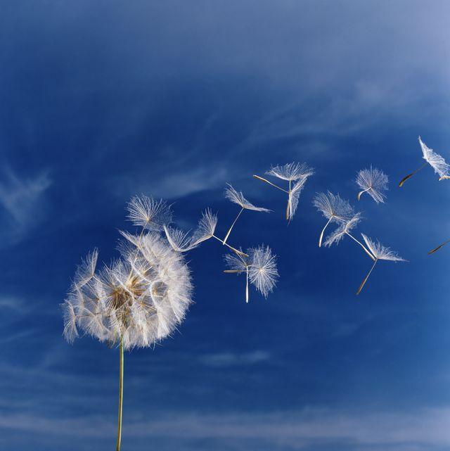 Dandelion (Taraxacum officinale) seed head against blue sky, close-up