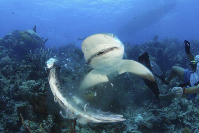 caribbean reef shark carcharhinus perezi, barracuda species unknow bahamas