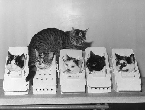 Laboratory Cats