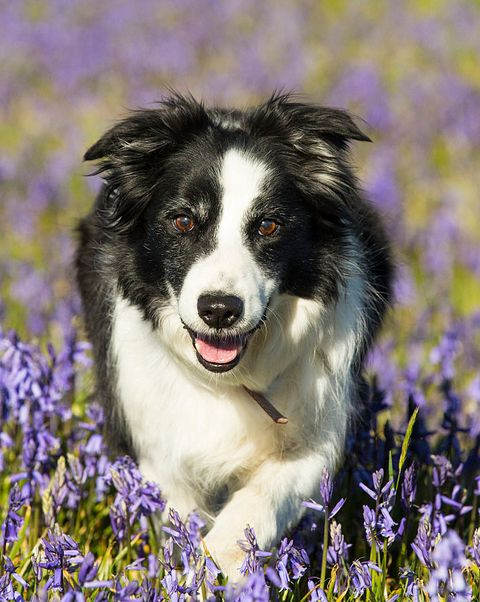 Dog breed, Vertebrate, Dog, Carnivore, Mammal, Purple, Lavender, Iris, Wildflower, Violet,