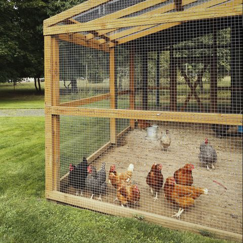 Cage, Chicken coop, Animal shelter, Backyard, Grass, Bird, Kennel, Chicken, Pet supply, Agriculture,