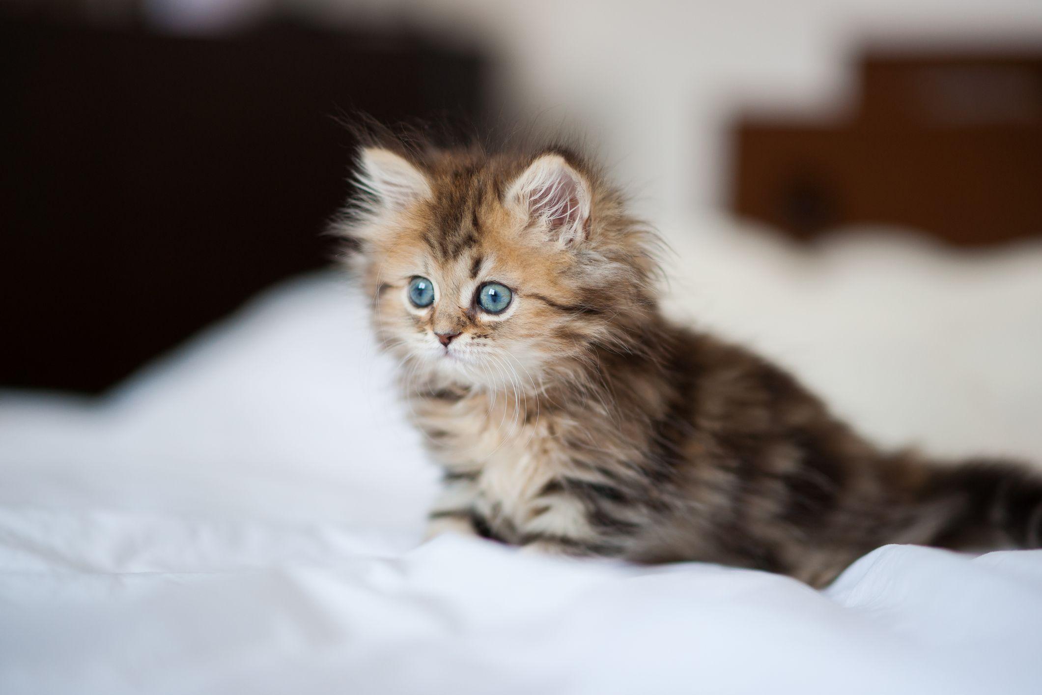 kitten fur