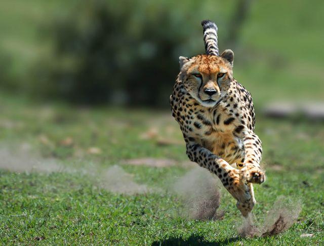 female cheetah on the hunt in the masi mara game reserve, kenya