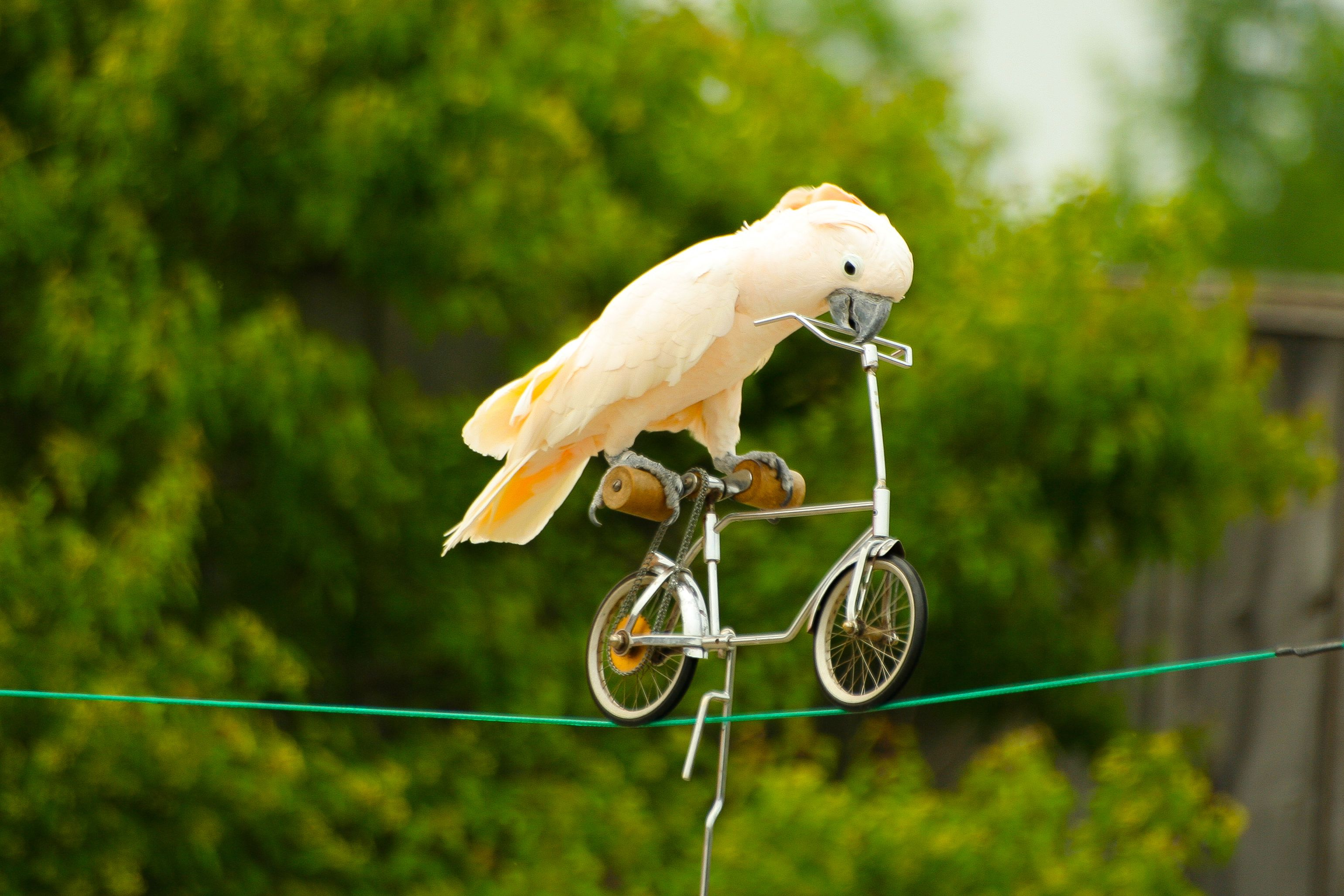 parrot on small bicycle