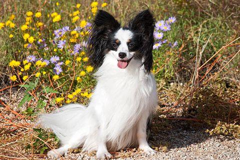 Dog, Vertebrate, Canidae, Dog breed, Mammal, Papillon, Phalène, Companion dog, Carnivore, Spaniel,