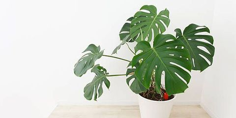 How To Take Care Of Monstera Deliciosa The Swiss Cheese Plant,How To Make Mexican Rice In Rice Cooker