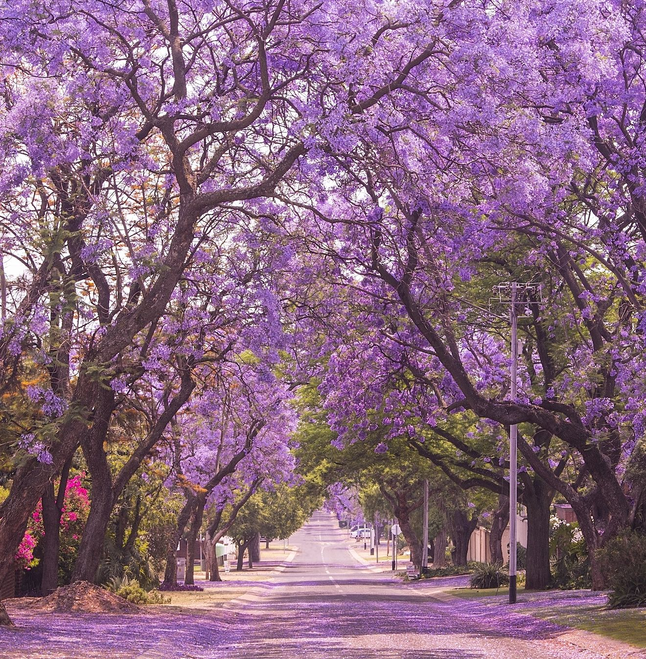 Jacaranda Trees The West Coast Version Of The Cherry Blossom Are