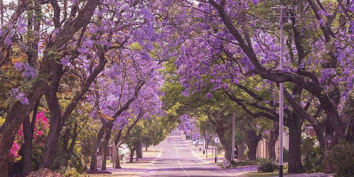 Jacaranda Trees The West Coast Version Of The Cherry