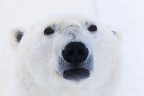 Polar bear, Mammal, Vertebrate, Bear, Polar bear, Nose, Snout, Carnivore, Wildlife, Terrestrial animal,