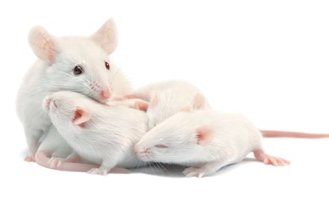 Rat, Mouse, Vertebrate, Mammal, White, Muridae, Muroidea, Hamster, Rodent, Gerbil,